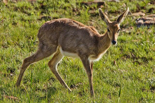 Antelope-2_Rhebok-640x425.jpg